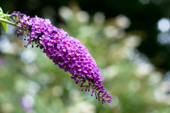 Buddleia Royalty Free Stock Image