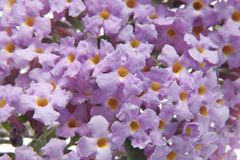 Buddleia Stock Photo