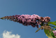 Buddleia alternifolia flowers Royalty Free Stock Photos