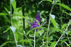 Buddleia - Angielski Motyli Purpurowy cesarz Motyli Bush Zdjęcie Royalty Free