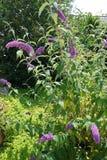 Buddleia bloeiende struik Stock Foto's