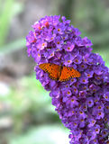 Buddleia with butterfly - HDR. Purple buddleia with butterfly with high dynamic range Royalty Free Stock Photo