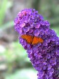 Buddleia con la farfalla - HDR fotografia stock libera da diritti