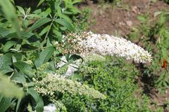 Buddleia davidii or butterfly-bush with white flowers in garden stock photo