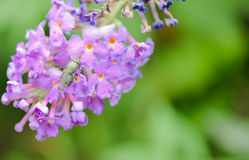Buddleia Royalty Free Stock Photos