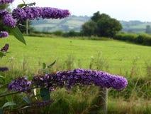 Buddleia, prato e colline lilla Immagini Stock Libere da Diritti