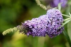 Buddleiadavidii, Violet Lilac Butterfly Bush Stock Afbeeldingen