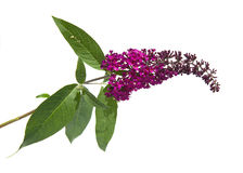 Buddleja Royalty Free Stock Photo