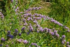 Buddleja alternifolia in summer Royalty Free Stock Images