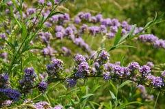 Buddleja alternifolia in summer Stock Images