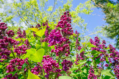 Buddleja bush in a garden Royalty Free Stock Photos