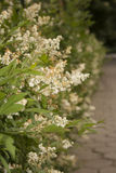 Buddleja Stock Photography