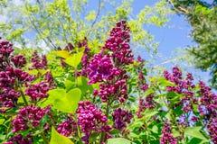 Buddleja buske i en trädgård Royaltyfria Foton