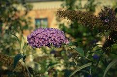 Buddleja davidii Motyli Bush w kwiacie Obrazy Royalty Free