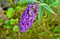 Buddleja davidii Motyli Bush w kwiacie Zdjęcia Royalty Free