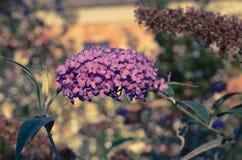 Buddleja davidii Motyli Bush w kwiacie Zdjęcie Royalty Free