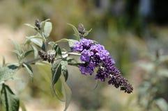 Buddleja-davidii Sport von ` Raider ` Schmetterlings-Bush-` Raider ` Lizenzfreie Stockfotografie