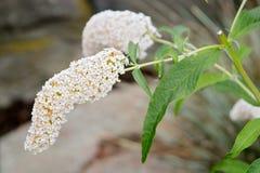 Buddleja davidii White Profusion. Buddlejaceae (butterfly bush, buddleia, summer lilac) botanical garden Gothenburg Sweden royalty free stock photography
