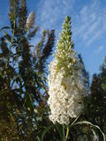 Buddleja Davidii Photo stock