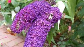 Buddleja met een bij en een wilde bij en een hoverfly Stock Foto