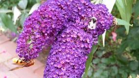 Buddleja mit einer Biene und eine wilde Biene und ein a hoverfly Lizenzfreie Stockfotografie