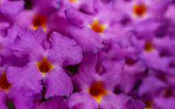 Buddleja - Motyli Bush Fotografia Royalty Free