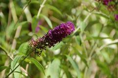 Buddleja púrpura, o Buddleia también conocido como Buddlea fotos de archivo libres de regalías