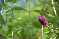 Buddleja púrpura, o Buddleia también conocido como Buddlea Imágenes de archivo libres de regalías