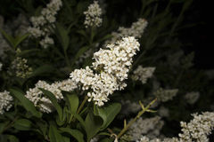 Buddleja Royalty Free Stock Images