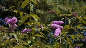 Buddlejabloemen die in de wind golven stock videobeelden