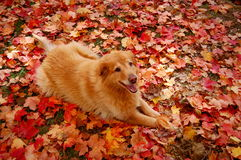 Buddy. Dog in colorful leaves Royalty Free Stock Images