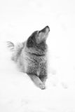 Buddy. Black and white of golden retriever mix in the snow royalty free stock photography