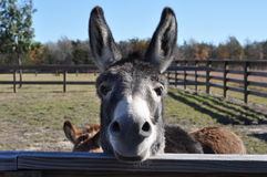 Buddy the Donkey Stock Photography
