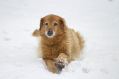 Buddy in the Snow. Old golden retriever mix in the snow stock images