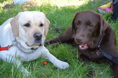 Buddy and Yoddy. Dog Labrador by the name of Buddy and your stock photos