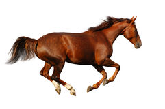 Budenny horse gallops Royalty Free Stock Image