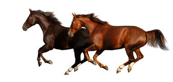 Budenny horses gallop Stock Photos