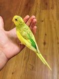 Buderigar, Parakeet standing on an open hand Stock Images