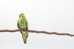 Budgarigar, Budgie ptak Zdjęcia Royalty Free