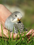 budgeriegar的鸟 图库摄影