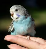 budgeriegar fågel Arkivbilder