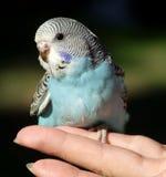 budgeriegar ptaka. Obrazy Stock