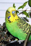 Budgerigar photo libre de droits