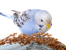 Budgerigar. With birdseed on cage, isolated on white background Stock Photography