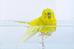 Budgerigar Fotografia de Stock Royalty Free