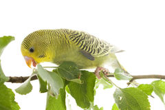Budgerigar Stock Photography