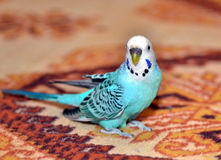 budgerigar stockbild