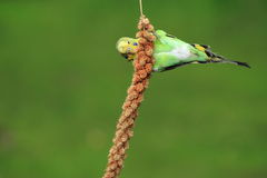 Budgerigar. Adult budgerigar on the flower Stock Photo