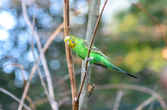 Budgerigar australian of natural coloration is sitting on a branch. Closeup Royalty Free Stock Image