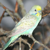 Budgerigar bird Royalty Free Stock Photography